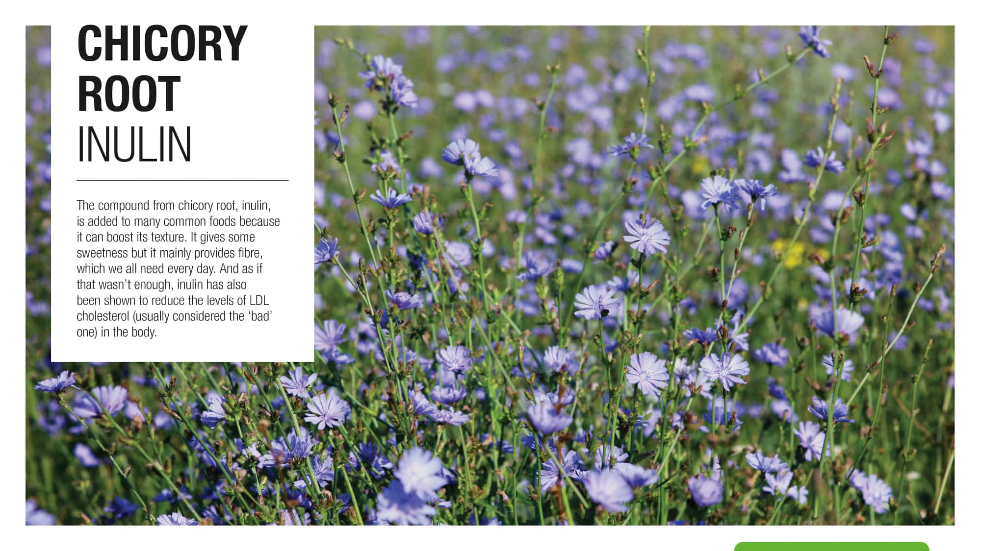 chicory-root-inulin